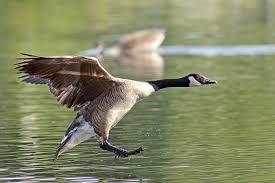 Canada Goose Landing in water