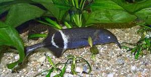A Big Brained Elephantnose Fish