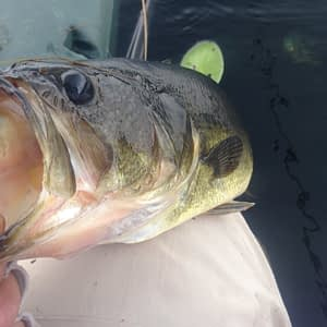 Another spinnerbait bass!