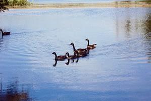 Geese at Hawkins Pond