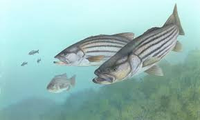 Stripers and bait